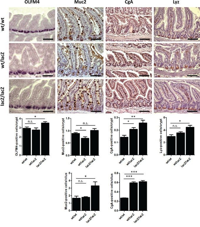 The loss of Usp22 results in a differentiation shift in the small intestine.