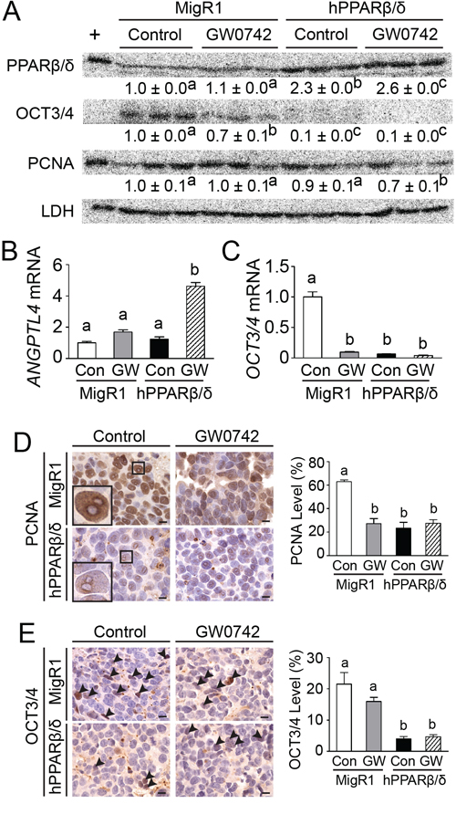 PPARβ/δ induces differentiation and inhibits proliferation in testicular cancer xenografts.