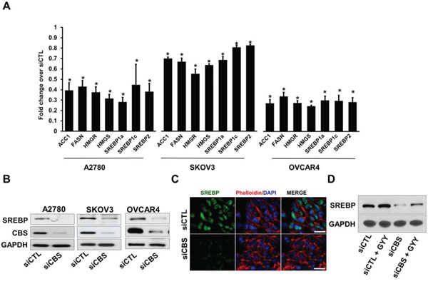 CBS silencing reduces expression of lipogenic genes and SREBPs in ovarian cancer cells.