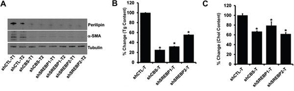 A. Immunoblot analysis of a-SMA and Perilipin in protein lysates isolated from tumors.