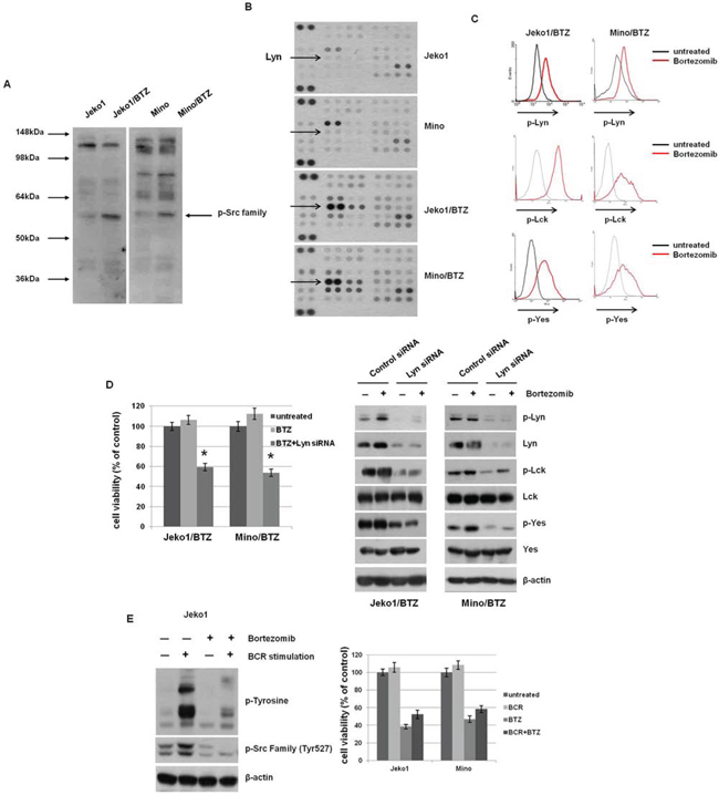 BTZ treatment induces activation of Src-family kinases (SFKs) through BCR signaling in BTZ-resistant cells.