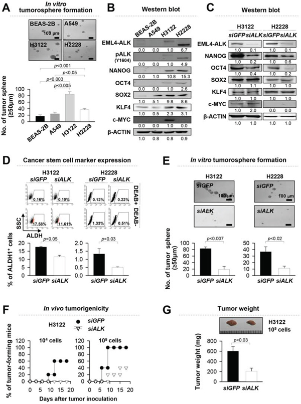 EML4-ALK increases the stem-like properties and tumorigenicity of EML4-ALK-driven NSCLC cells in vitro and in vivo.