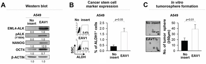 Ectopic expression of EML4-ALK enhances the stem-like properties and tumorigenicity of EML4-ALK negative cells.