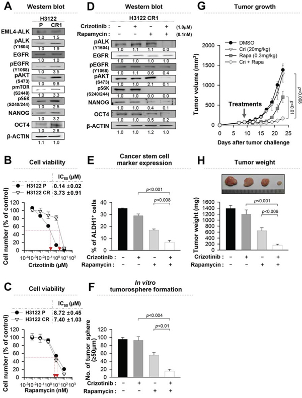 Rapamycin can effectively reduce the stem-like properties of crizotinib-resistant cells.