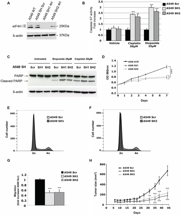 In vitro and in vivo characterization of the effect of eIF4H knockdown in A549 cells.