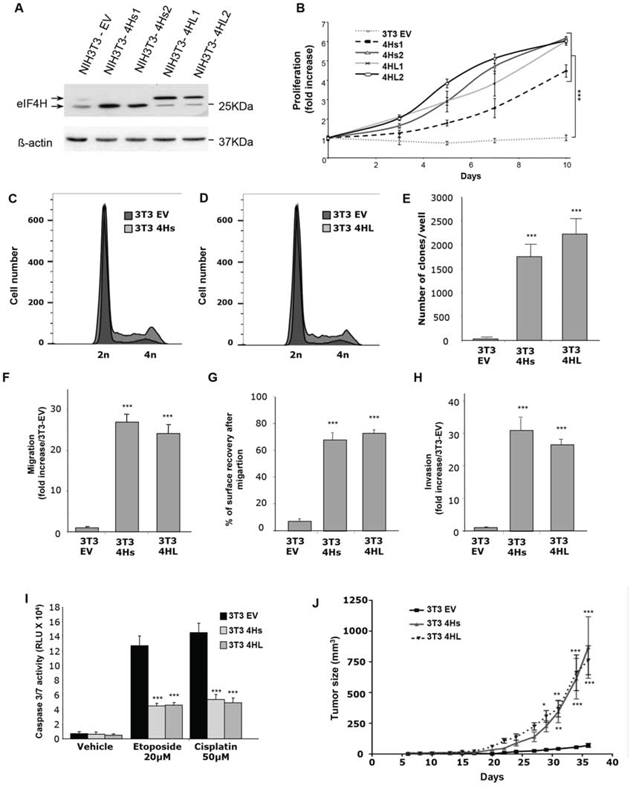 Consequences of eIF4H overexpression in NIH3T3 cells.