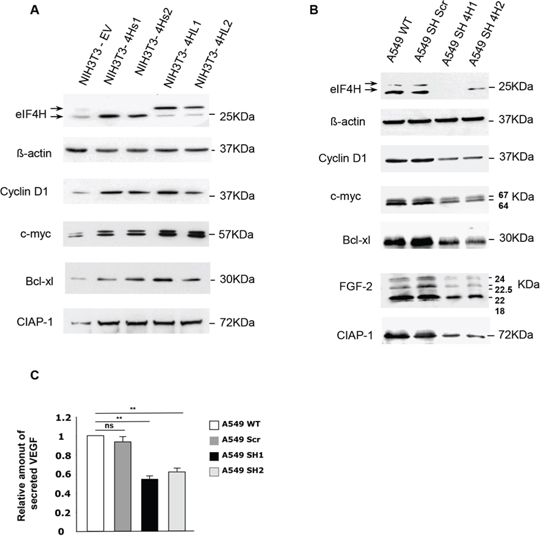 Effect of changes in eIF4H levels on the regulation of expression of genes involved in proliferation, apoptosis and cellular survival.