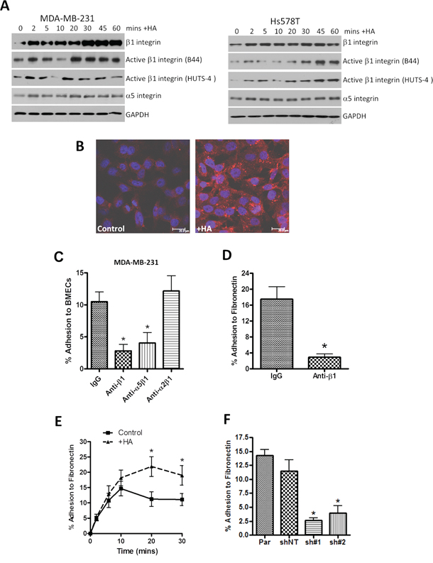 HA signaling promotes activation of β1-integrin receptors and promotes β1-integrin-mediated cell adhesion.