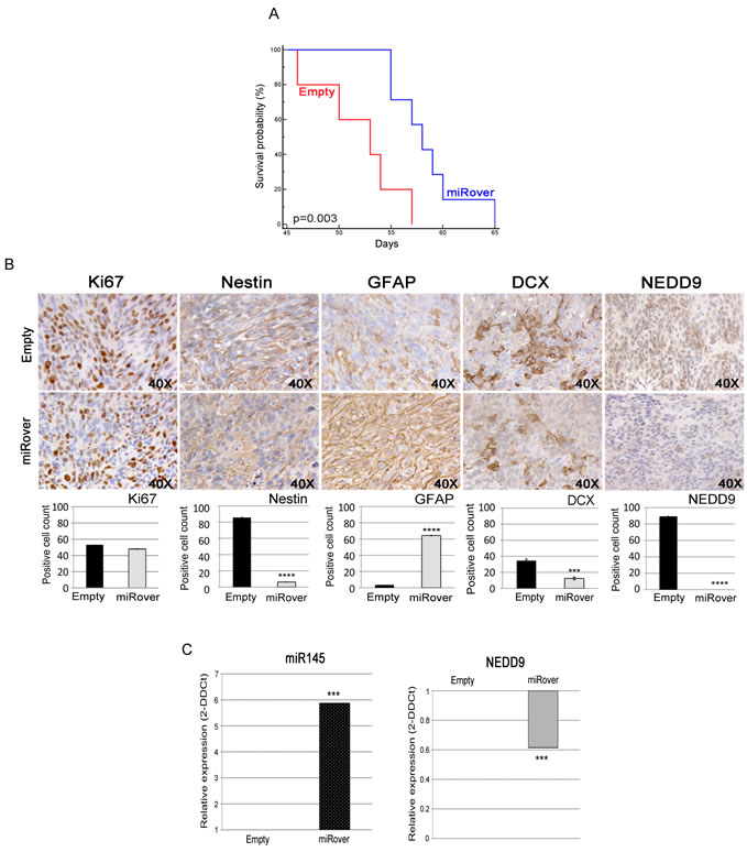 Effects of miR-145 overexpression in vivo.