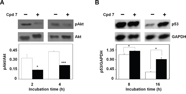 Effect of compound 7 on pAkt and p53 protein levels.