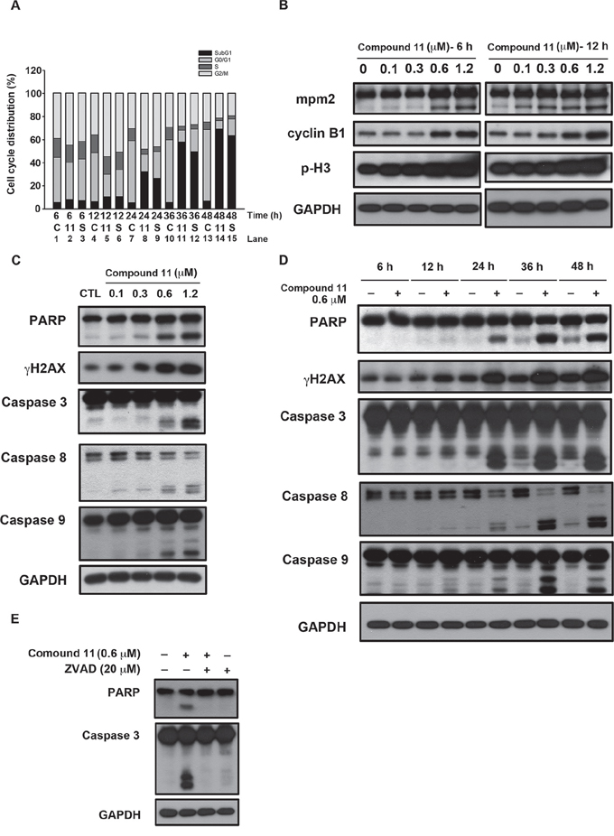 Compound 11 induces cell cycle arrest and apoptotic cell death in HCT116 cells.