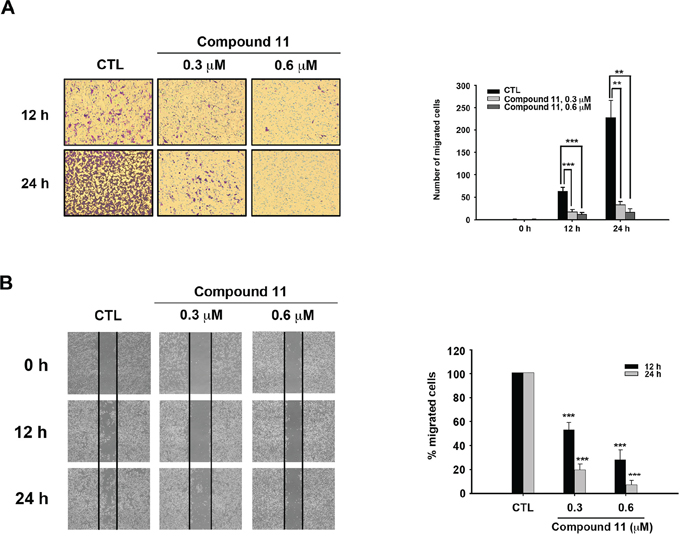 Compound 11 inhibits the migratory ability of HCT116 cells.