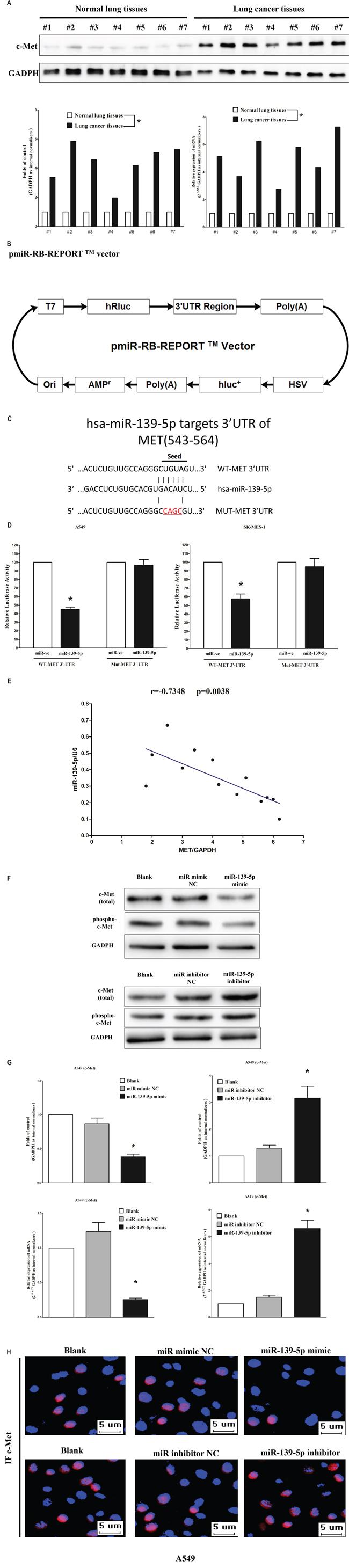 Oncogene MET is a target of miR-139-5p at specific 3′-UTR site.