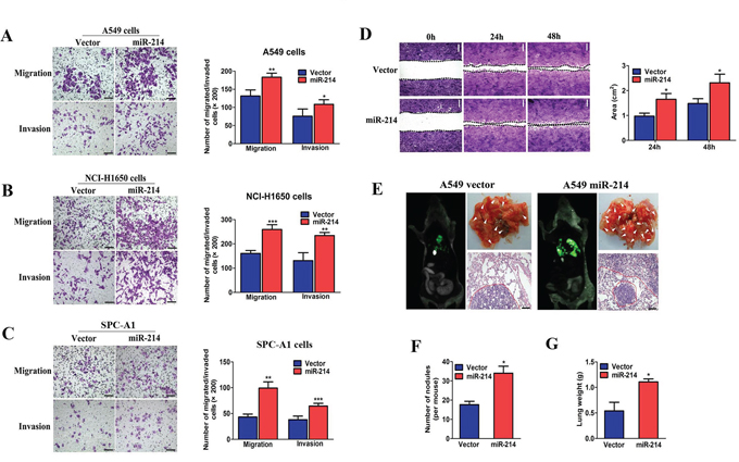 miR-214 enhances LAD cell migration and invasion in vitro and promotes their metastasis in vivo.