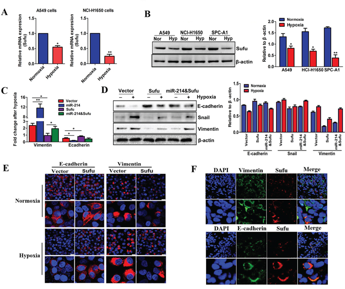 The miR-214-mediated EMT process in LAD cells depends on Sufu inhibition.
