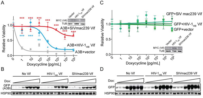 SIVmac239 Vif rescues cells from huA3B-mediated DNA damage and cytotoxicity.