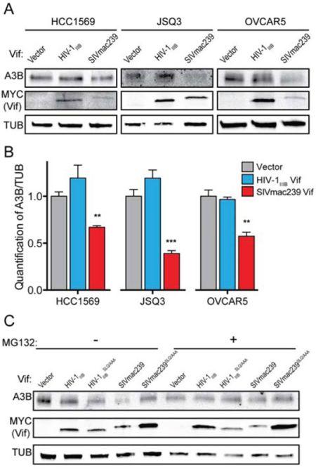 SIVmac239 Vif degrades endogenous huA3B in cancer cells.