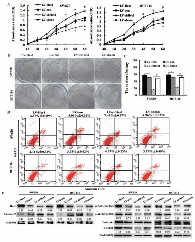 Effect of Hes1 on the cell growth and apoptosis of colon cancer cells.