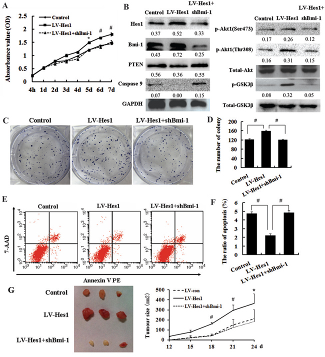 Bmi-1 is required for Hes1-mediated cell growth promotion and apoptosis inhibition.