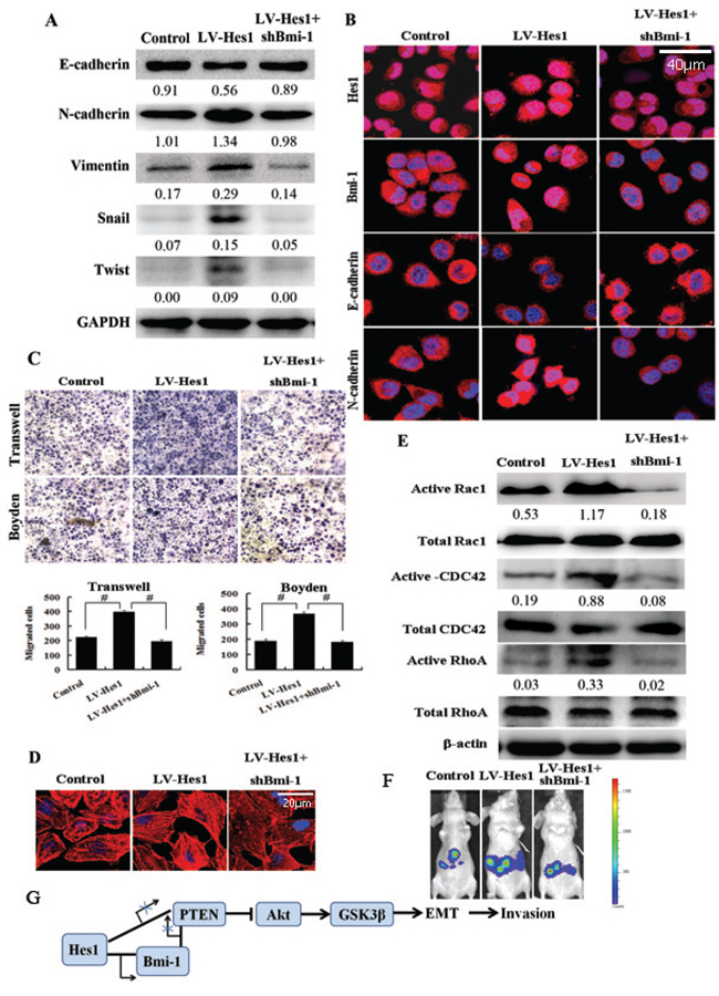 Bmi-1 mediates Hes1-induced cell invasion and cytoskeleton reconstruction.