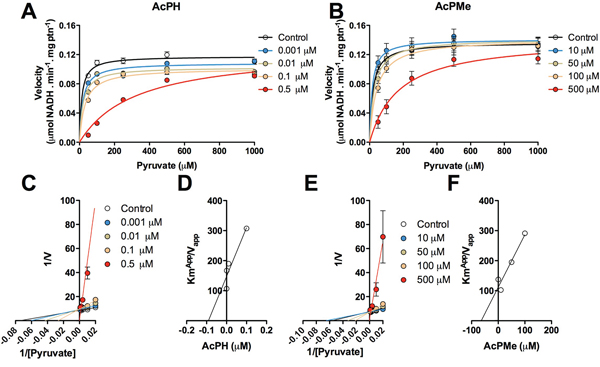 Kinetics of inhibition of PDHC by AcPH and AcPMe in alamethicin-permeabilized mitochondria from rat skeletal muscle.