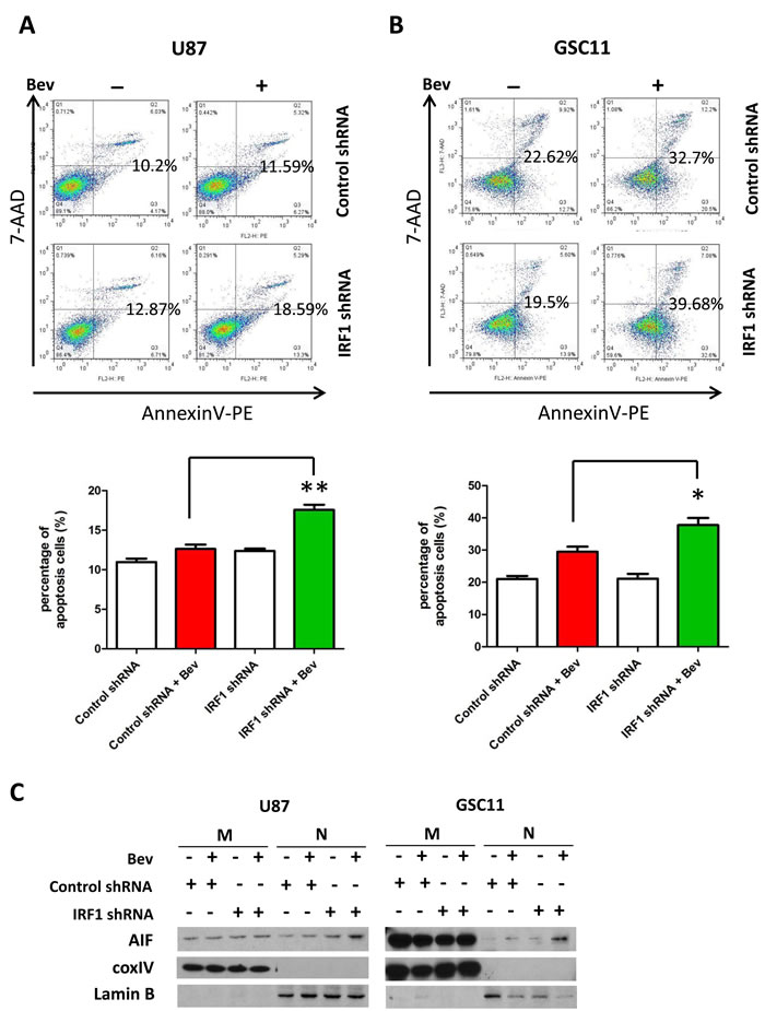 IRF1 depletion increases apoptosis of bevacizumab-treated glioma cells.