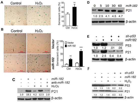 ROS-induced premature cellular senescence is mediated by ROSmiRs and cell cycle genes.