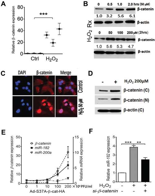 ROS or stress-induced miR-182 expression is regulated by β-catenin.