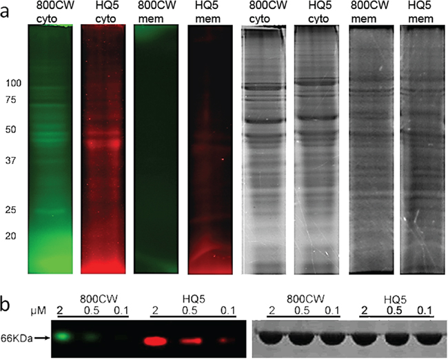 SDS-PAGE analyses of HQ5 and 800CW protein binding.