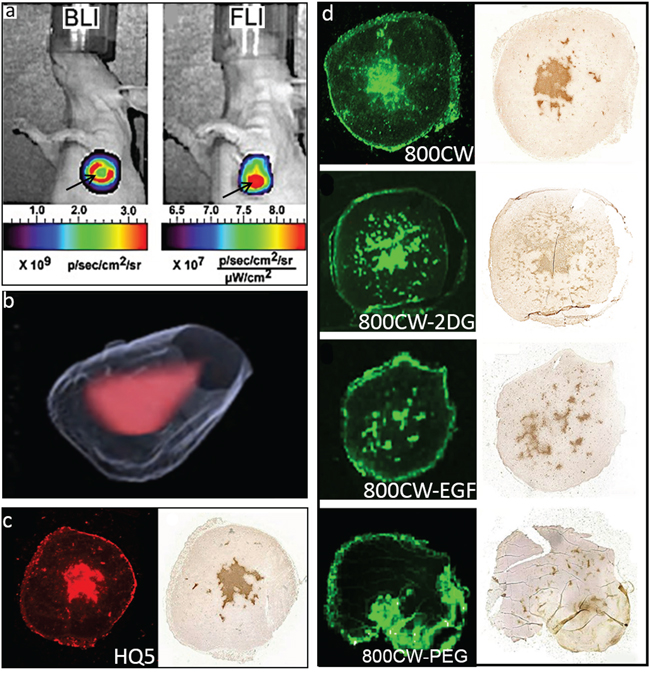 In vivo and ex vivo imaging of spontaneous 4T1-luc2 tumor necrosis with HQ5, 800CW, 800CW-EGF, 800CW-2DG and, 800CW-PEG.