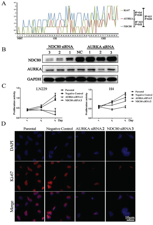 Deletion of the candidate genes suppressed Ki-67 expression and cell proliferation.
