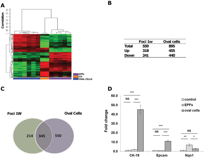 mRNA profile of oval cells and EPFs in the R-H model of hepatocarcinogenesis.