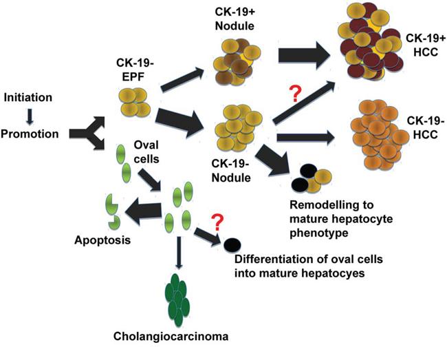 Representative scheme of the multistage tumorigenic process in the R-H model.