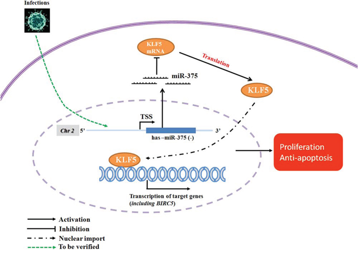 Proposed miR-375/KLF5 regulation mechanism in the premalignant progression of oral squamous cell carcinoma.