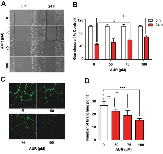 Auraptene delays RCC4 cell migration and inhibits tube formation by HUVECs.