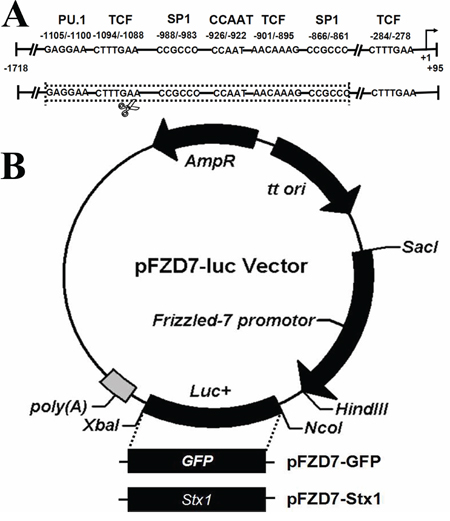 Construction of Frizzled-7 promoter and recombinant vectors.