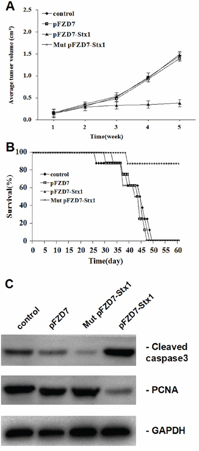 pFZD7-Stx1 reduced tumor burden and improved survival of nude mice with liver tumor xenografts in vivo.