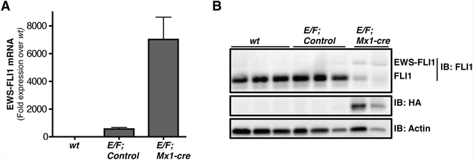 EWS-FLI1 is expressed in E/F; Mx1-cre mouse model.