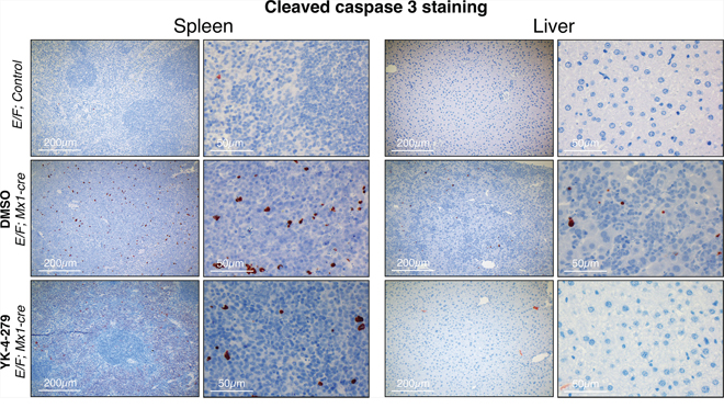 YK-4-279 caused little apoptosis in liver or spleen after two weeks of treatment.