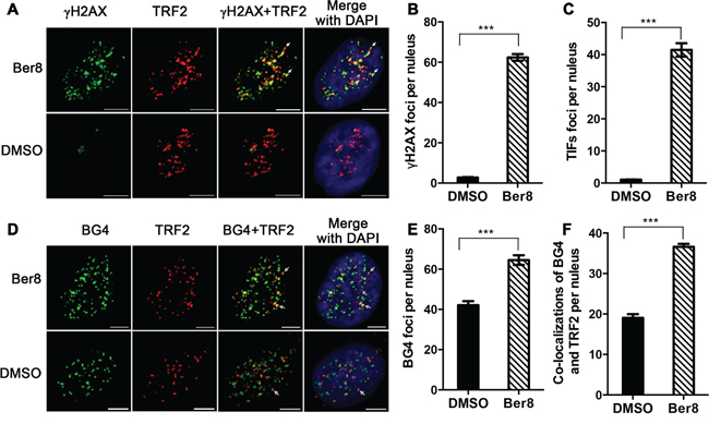 Ber8 stimulated DNA damage and stabilized endogenous G-quadruplexes at telomeric regions.