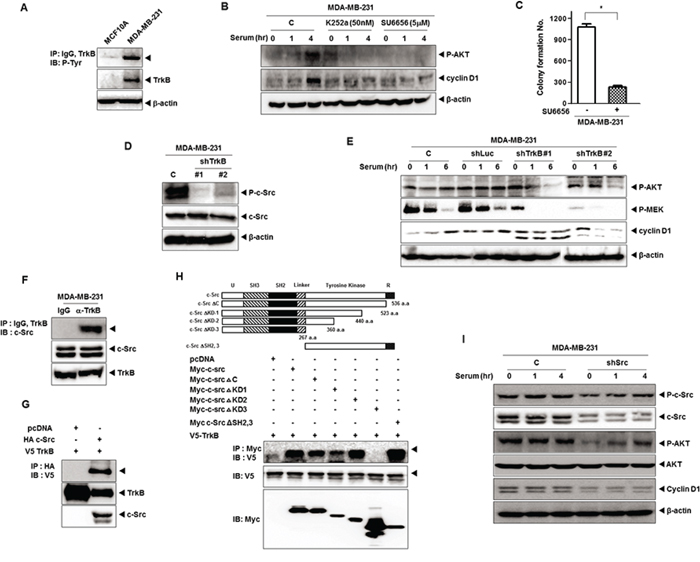 TrkB-mediated c-Src activation induces activation of the PI3K/AKT and Ras-MAPK pathway.
