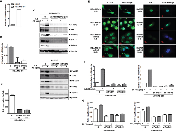 Induction of IL-6 secretion by TrkB enhances nuclear translocation of STAT3 and upregulates Twist-1 and Twist-2.