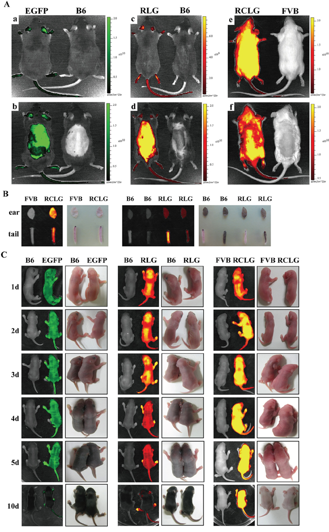 Whole animal and organ fluorescence imaging.