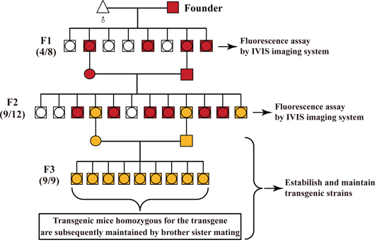 General procedure for identifying the homozygous transgenic mice by in vivo fluorescence imaging.