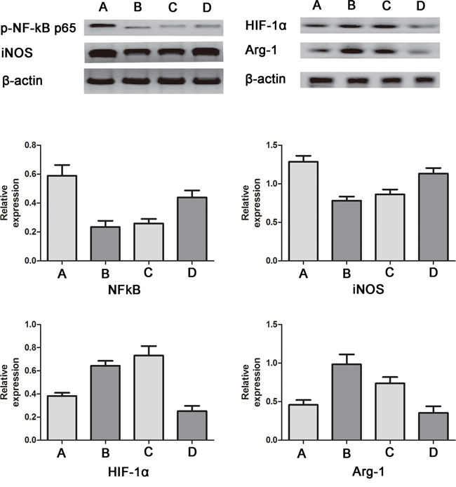 Western blotting for iNOS, p-NF-κB-p65, Arg-1 and HIF-1α in RAW264.7 cells.
