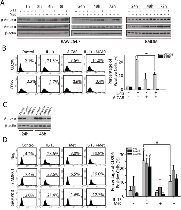 AMPKα1 is involved in metformin inhibited M2-like polarization of macrophages.