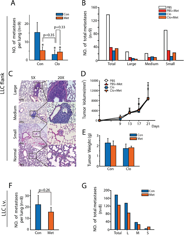 Merfromin inhibits metastasis of LLC in vivo by targeting macrophages.