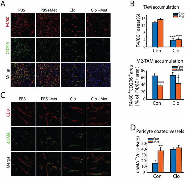 Metformin suppresses M2 polarization of TAMs and promotes tumor vessel maturation.