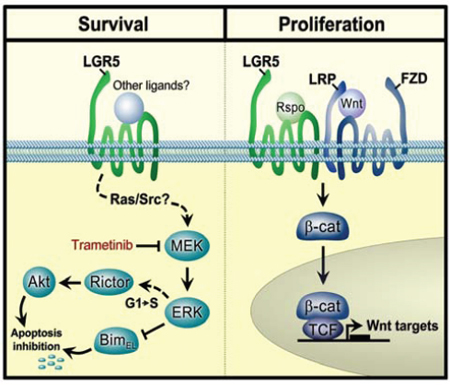 A model showing regulatory modalities for LGR5 in neuroblastoma.