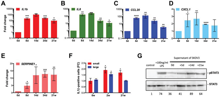 Induction of a pro-inflammatory secretory phenotype after CPT treatment of SKOV3 cells.
